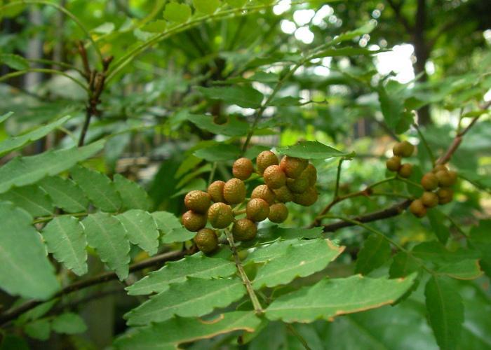 Japanese sansho pepper plant