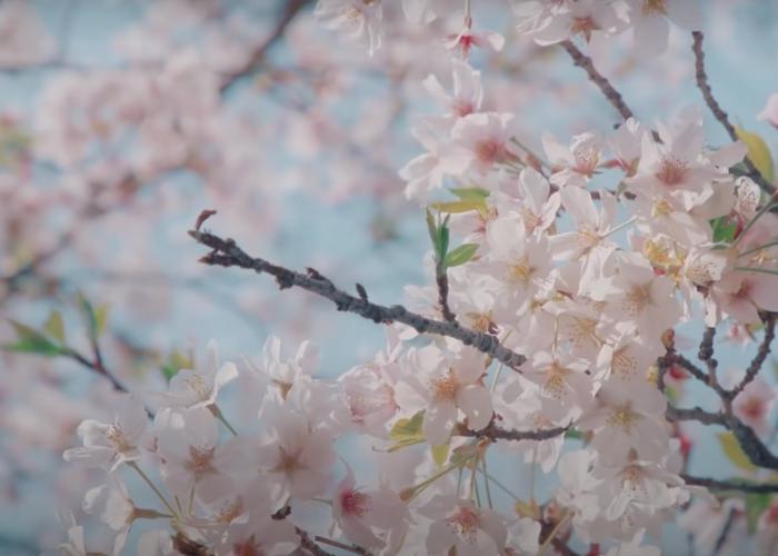 Blooming sakura at Happo-en Garden