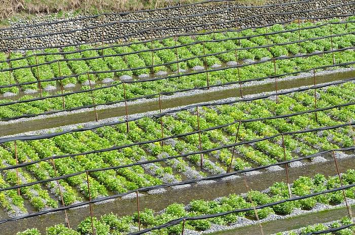 Overview of a wasabi farm with lots of wasabi plants growing in running waters