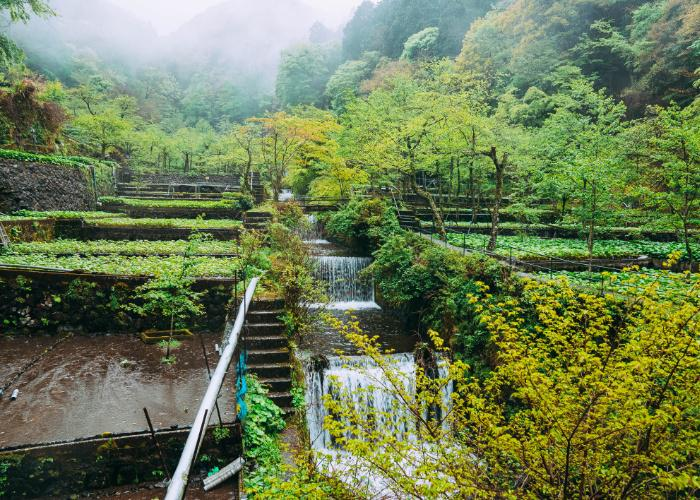Landscape of a wasabi farm in Shizuoka, with fresh flowing water running through the beds of wasabi