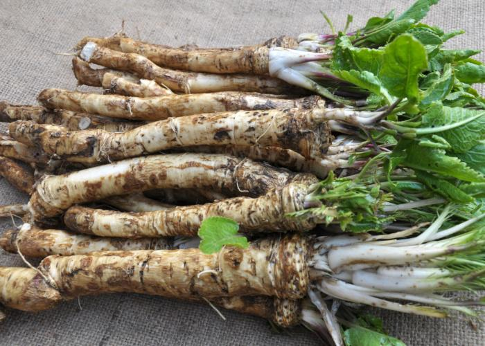 A pile of European horseradish, freshly dug up