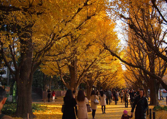 People walking between two rows of tall golden gingko trees, with yellow leaves all over the path
