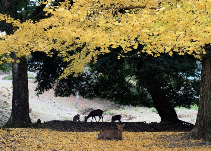 Deer relaxing in Nara Park under trees with golden leaves