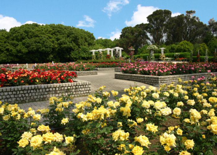Pink, yellow, and red rose bushes in Nagai Botanical Garden Autumn Rose Week in Osaka