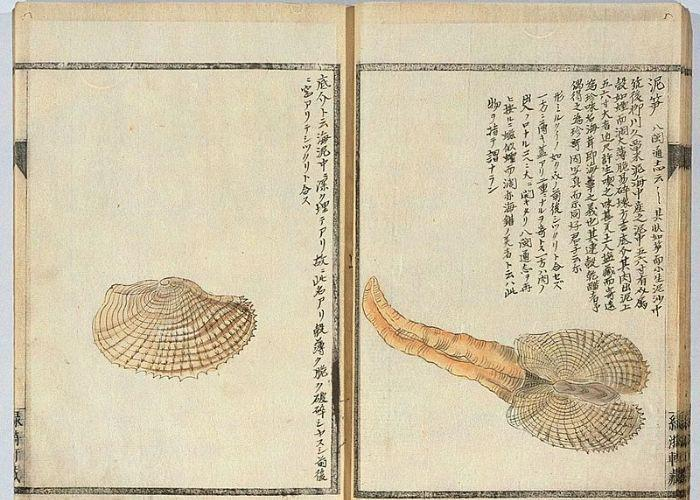 An illustration of an umitake clam in an old Japanese book, accompanied by Japanese writing