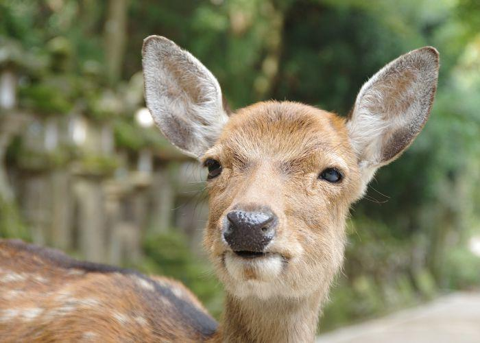 Spotted brown Nara deer looks into the camera