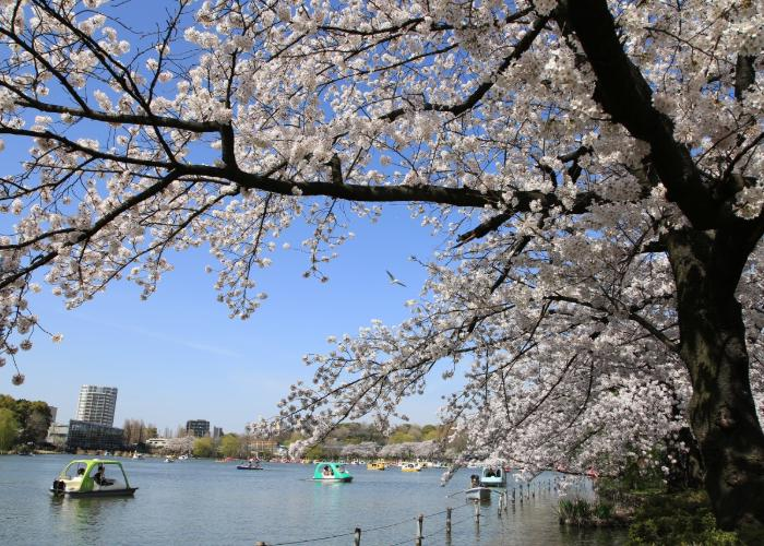 Sakura blooming in contrast with clear blue sky in the lakeside Ueno Park.