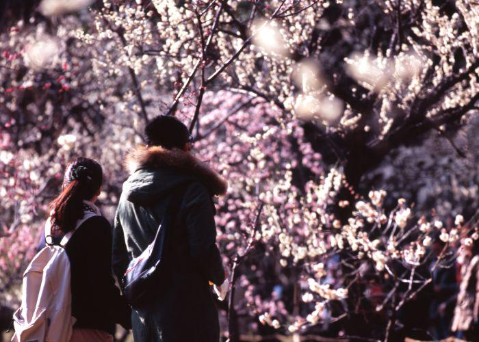 A couple of people admiring the plum blossom in the park