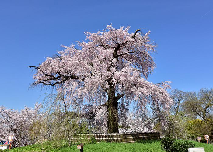 Maruyama Park's weeping cherry blossom tree in Gion, Kyoto, against a bright blue sky