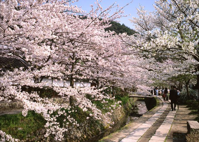 Sakura cherry blossom tree lined Philosopher's Path in Kyoto