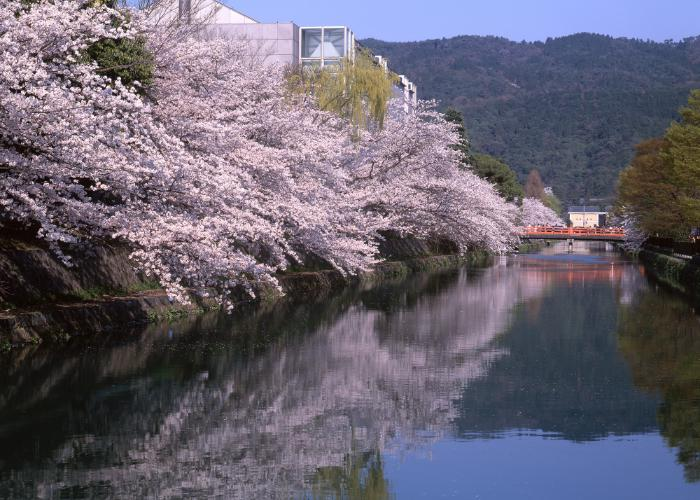 Blooming cherry blossom trees line Okazaki Canal in Kyoto
