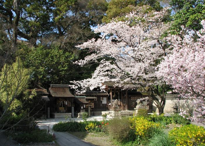 Kyoto Imperial Palace Cherry Blossoms blooming pink