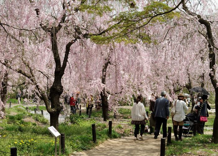 People stroll down a path lined with blooming pink cherry blossoms in the Kyoto Botanical Gardens