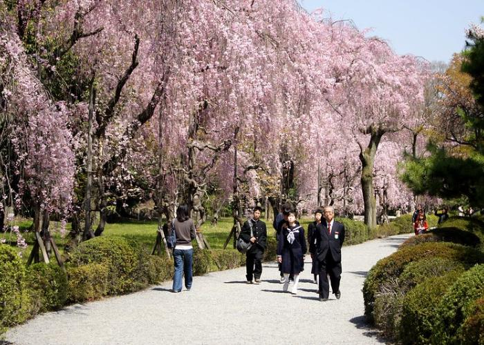 People walk along a cherry blossom lined path on the Nijo Castle grounds