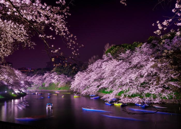 Evening view of cherry blossoms illuminated at night, reflected in the water at Chidorigafuchi