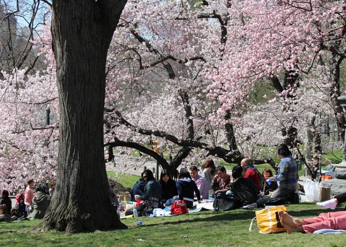Cherry blossom viewing spot in Japan, groups of people enjoying a picnic on the grass surrounded by blooming sakura