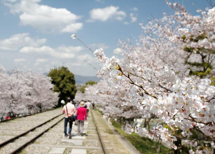 Kyoto Keage Incline, old train track route lined with blooming cherry blossoms