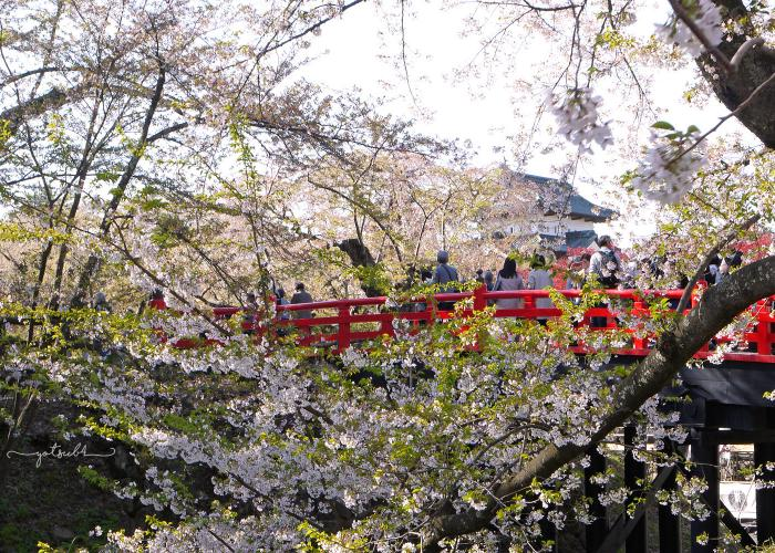 Cherry blossoms blooming over a red bridge in Yanaka