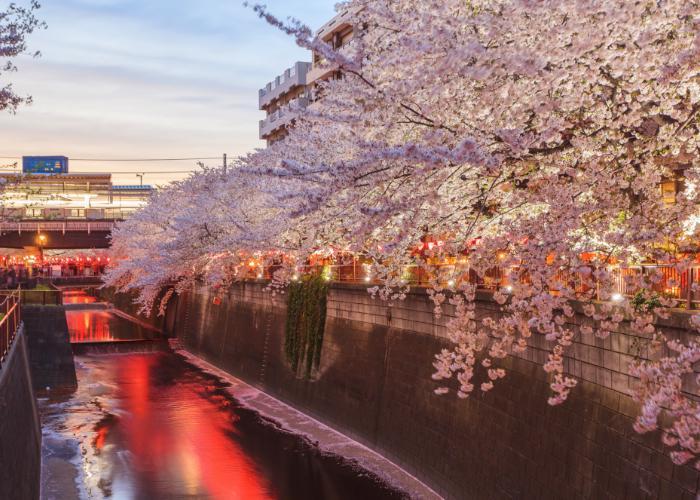 cherry blossom festival in Nakameguro