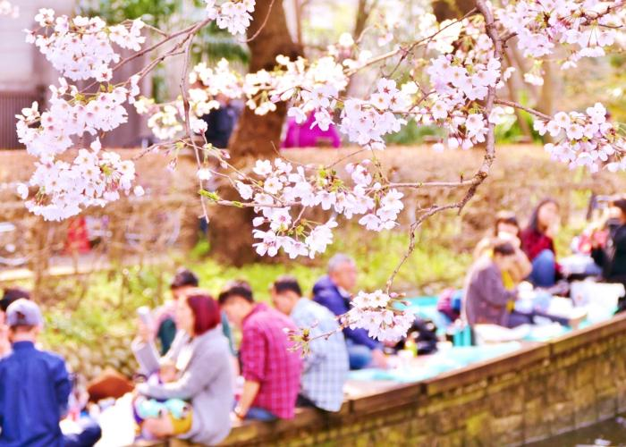 People enjoying a picnic by the riverside, under the blooming cherry blossom trees
