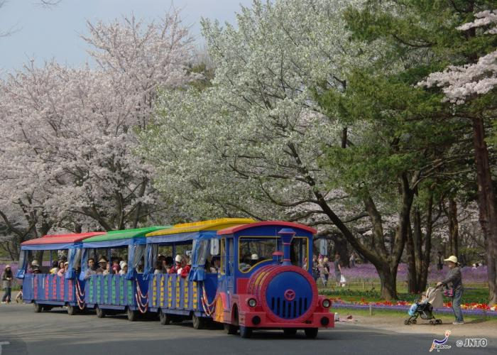 A colorful trolley rides by the flourishing cherry blossom trees of Showa Kinen Park