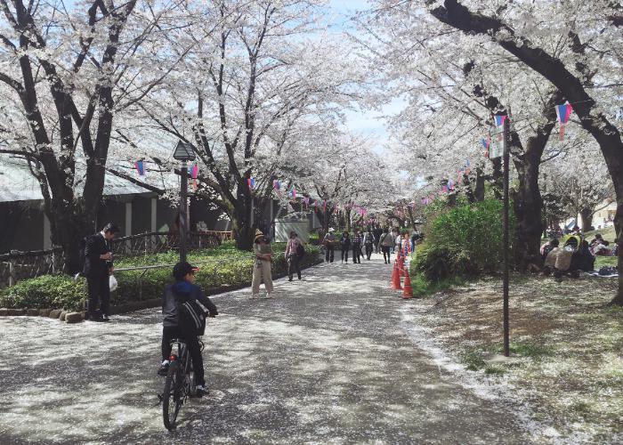 Path at Asukayama Park lined with sakura trees