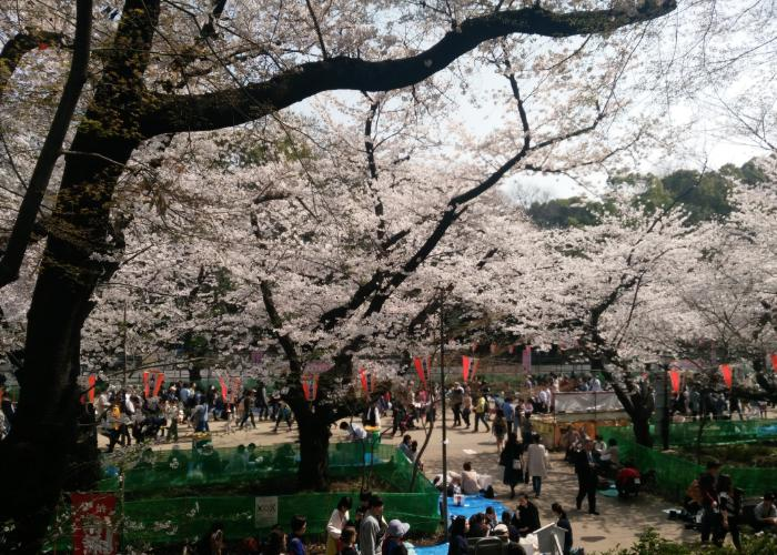 People picnic under the sakura trees at Ueno Park