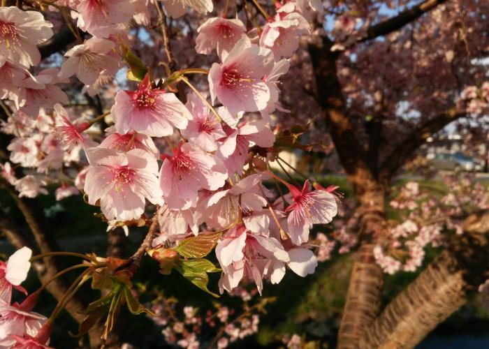 Japanese cherry blossom tree in bloom