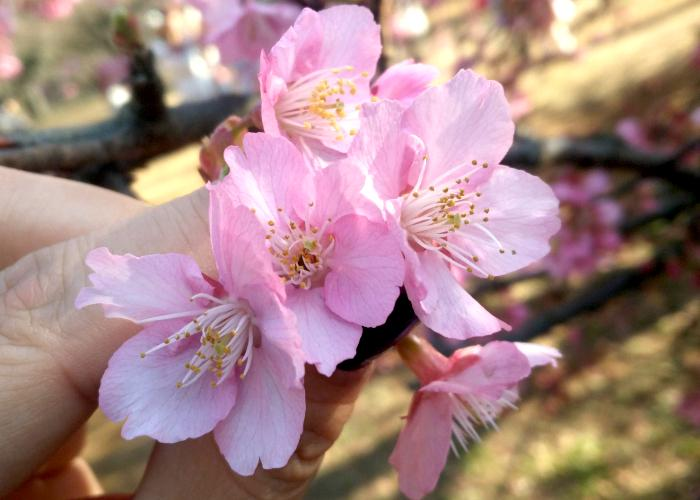 Hand holds a few Japanese cherry blossoms