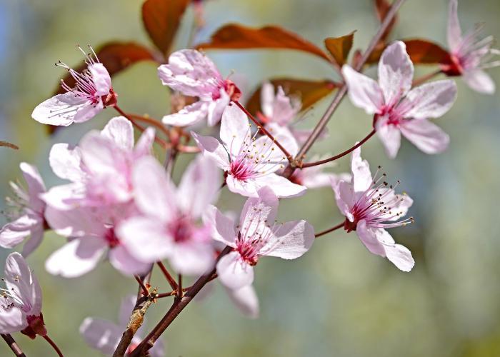 Japanese plum blossoms in full bloom
