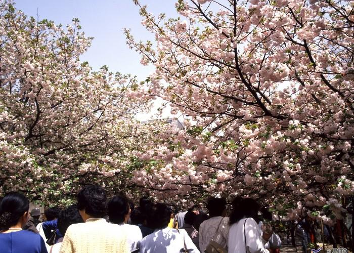 A trail lined with blooming cherry blossoms at the Osaka Mint
