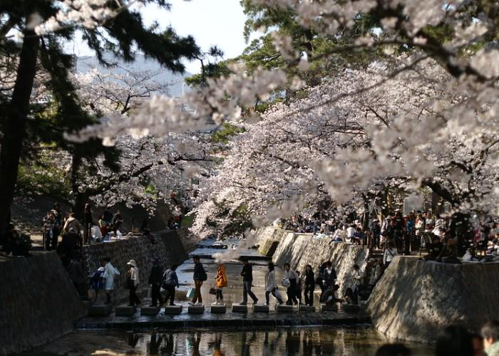 A trail of cherry blossoms trees at Shukugawa Park