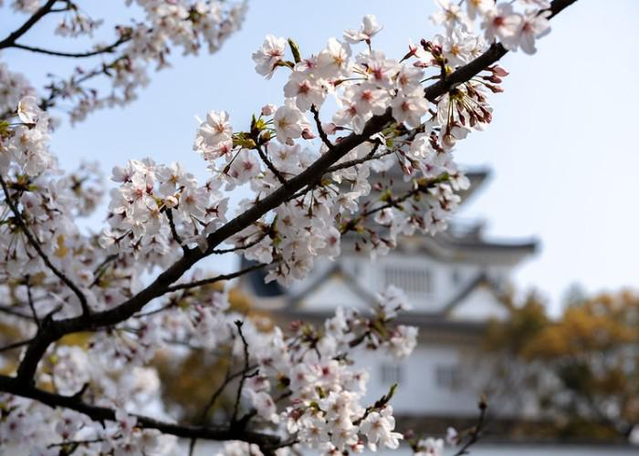 Close-up of Japanese cherry blossoms int he foreground with Kishiwada-jo Castle in the background