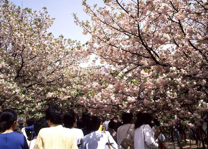 Passage way under blossomed sakura trees