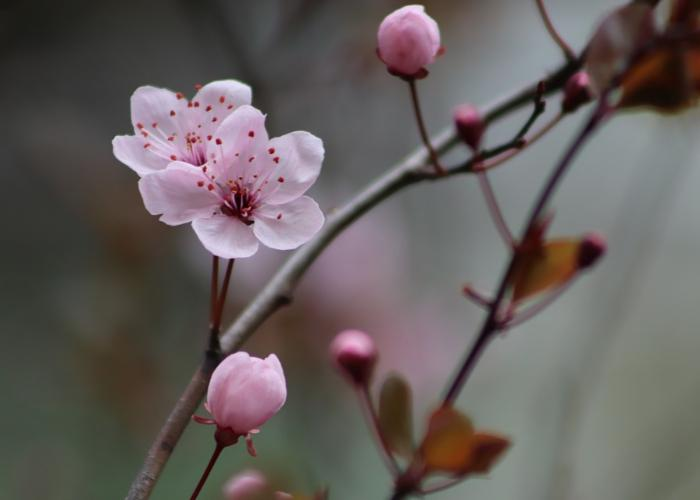 Close up of ume plum blossom with blurred background