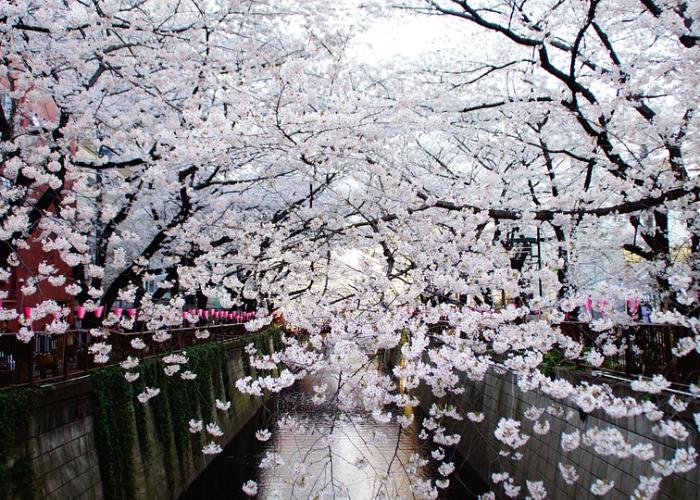 View of the Meguro River shrouded by blooming cherry blossoms