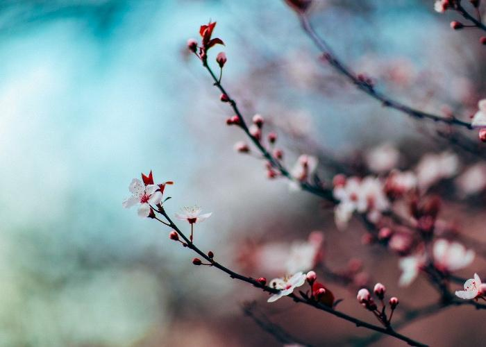 Cherry blossoms against a blurred background