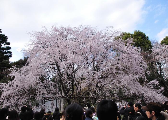 Blooming Sakura at Rikugien Park in Tokyo