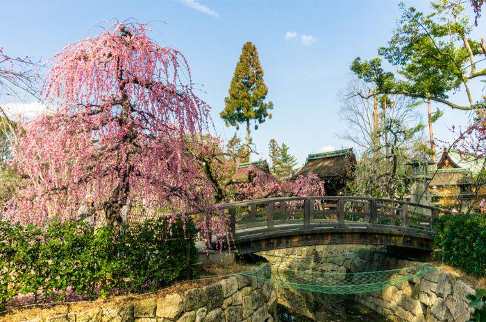 Plum tree (Japanese apricot) blooming in the garden of Kitano Tenmangu shrine, Kyoto, Japan