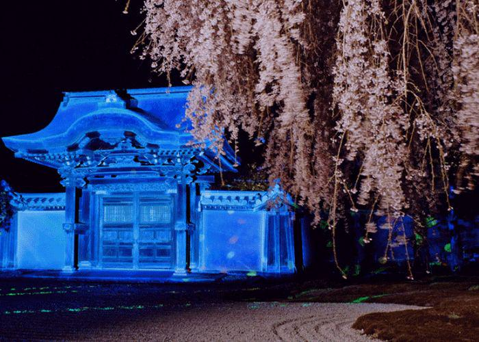Kodaiji Temple and sakura tree illuminated in the night